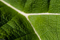 lifeline (zora_schaf) Tags: texture munich mnchen leaf botanic grn blatt kontrast schrfentiefe fokus lifeline fotowalk textur blattader lebensader zoraschaf worldwidephotowalkmunich