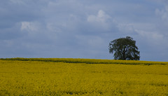 Lone tree (DaveStrong) Tags: flowers blue 2 sky flower tree field yellow composition canon mark seed rape ii oil lone 5d crops agriculture markii rapeseed oilseed mark2 linseed 5dmarkii 5d2 5dii 5dmark2