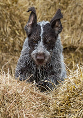 GWP Scurry (slmiddleton) Tags: park dog dogs water fast fair run retriever dummy retrieve catton gamekeepers