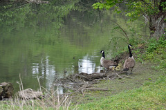 gosslings (yumievriwan) Tags: nature water creek geese pennsylvania waterfowl monocacy gosslings