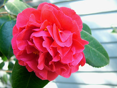 Camellias in my garden (rooftop65) Tags: flowers garden spring deepred camellias doublepetal