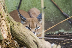 Caracal (ninjapotato) Tags: caracal catsurvivaltrust