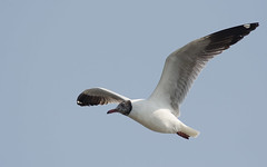 Brown Headed Gull (Aravind Venkatraman) Tags: morning brown india bird birds nikon gull indian birding 300mm national dslr aravind chennai birdwatching f4 birder headed nationalgeographic birdphotography 14tc nikondslr birdsindia indiabirds incredibleindia indianbirds birdphotographer dslrnikon nikon300mmf4 brownheadedgull larusbrunnicephalus avphotography nikon14tc d7000 chroicocephalus chroicocephalusbrunnicephalus brunnicephalus annamalaicheri nikond7000 chennaibirding d7000nikon aravindvenkatraman