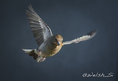 DSC_7560 (Welsh_Si) Tags: bird garden flying flight finch chaffinch