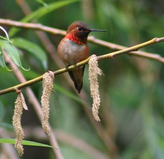 Rufous Hummingbird (Oma Darling Photography) Tags: birds spring hummingbird birding may washingtonstate canonpowershot rufous marilynhassler omadarlingphotography