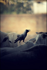 Friends. (soumen19xx) Tags: trees friends india blur color bird fauna digital photoshop canon geotagged photography eos google focus asia moments natural photos bokeh outdoor candid creative feather sigma crow t3 70300 cs3 defocus stillphotography 1100d