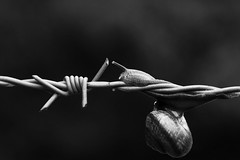 Mimikry (PartII) (Herr Olsen) Tags: bw 50mm snail barbwire schnecke nahlinse stacheldraht closeuplens