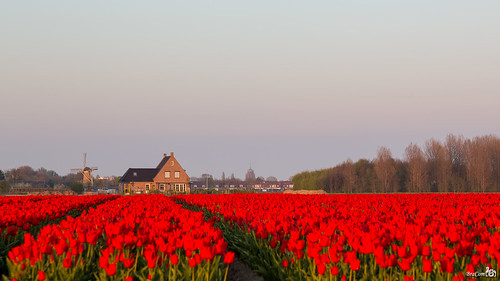 Red tulips at twilight