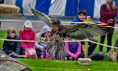 Day 144 - Incoming (Kelmon) Tags: color colour bird nature oneaday action hawk photoaday birdofprey pictureaday project365 project365144 project365052413 project36524may13