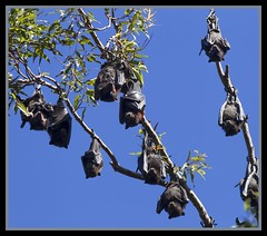 Redcliffe Fruit Bat Colony-06= (Sheba_Also) Tags: fruit bat redcliffe colony