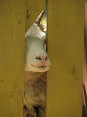 Here's Johnny!!! (horses merci) Tags: yellow gate looking sheep peeking