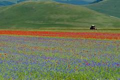 castelluccio (ventocaldo) Tags: castelluccio fiorituradicastelluccio fioritura2013