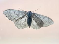 MOTH UNDERSIDE 220713 (spikeswurda) Tags: macro insect moth olympus ep3