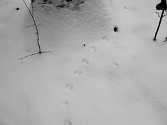 Animal Footprints B/W (skylarprimm) Tags: winter snow wisconsin blackwhite blizzard