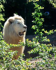 Toujours prt (FranckNikon) Tags: nature zoo nikon king lion whitelion flin zooamnville lionblanc