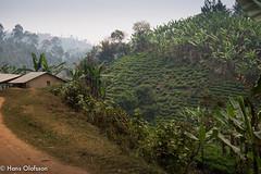 Uganda (Hans Olofsson) Tags: africa natur afrika uganda ecoturism biwindi teplantage teodling