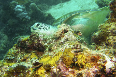IMG_0114ew (ajimns) Tags: ocean travel blue sea wild vacation nature water animal animals coral aquarium marine underwater natural turtle reptile background wildlife deep scuba diving adventure explore exotic turtles tropical environment diver aquatic reef discovery active discover