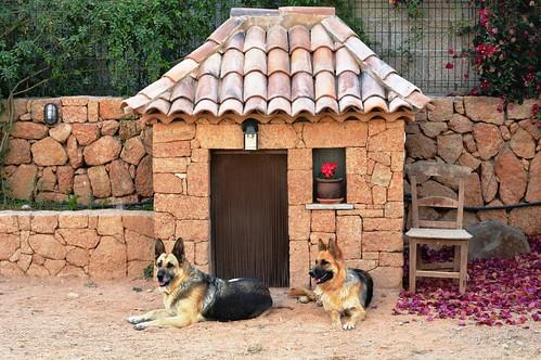 Perla y Cala en casa - German Shepherd at home