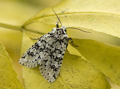Merveille du Jour (Frode Falkenberg) Tags: norway moths noctuidae bergen hordaland nattfly merveilledujour griposiaaprilina grnteikefly