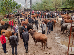 Guizhou : Kaili, cattle market #1 (foto_morgana) Tags: china cow asia cattle market guizhou kaili