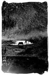 illusions (marius_loots) Tags: blackandwhite white black film fauna southafrica mono m illusion rhino ilford fp4 rhinoceros