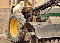 Gatos. (edea44) Tags: tractor gatos gato vision:outdoor=0662