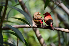 Red billed firefinch (J☺han) Tags: bird nature birds wildlife vogels gambia vogel redbilledfirefinch lagonostictasenegala kotu vuurvink senegalamarant