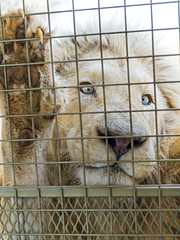 White lion against the truck