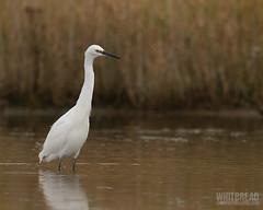 Little Egret (Paul Whitbread) Tags: uk england bird wildlife norfolk egret avian littleegret