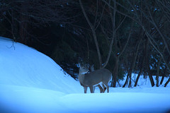 Backyard Visitors (a56jewell) Tags: winter two fab corn backyard deer fawn sonw a56jewell