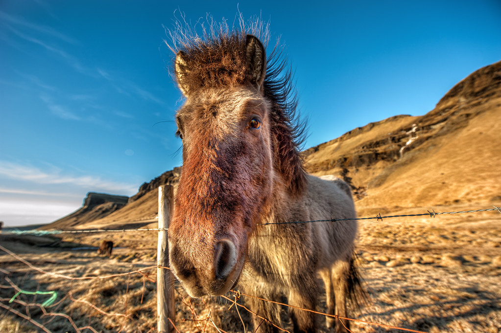 This is another shot of the majestic Icelandic Horse.
