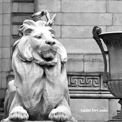THE NYC LIBRARY (MY PINK SOAPBOX) Tags: city nyc newyorkcity urban birds statue reading manhattan arts books biblioteca lionstatue metropolis gothamist gotham libros livres bibliotheque newyorkers urbanite newyorkcitylandmark theconsumerist arteycultura artsandculture libraryclosings newyorkcitylibary 42ndstreelibrary newyorklibraryclosings savethenyclibrary