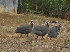IMG_1532 (Tehhen) Tags: birds animals dominicanrepublic repblicadominicana clavellina dajabn