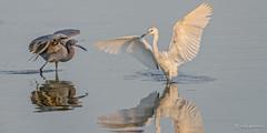 Seriously - It was THIS big! (craig goettsch) Tags: nature birds florida wildlife ngc npc sanibelisland avian littleblueheron dingdarlingnationalwildliferefuge avianexcellence