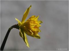 Première fleur de jonquille du potager