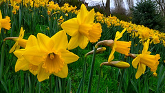 Seasonal Blooms (lincoln_eye) Tags: uk greatbritain flowers trees houses winter england grass leaves yellow march petals europe cloudy unitedkingdom eu overcast arboretum lincolnshire roofs lincoln gb blooms daffodils slope 2014
