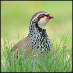Red-legged Partridge (image 2 of 3) (Full Moon Images) Tags: red game bird nature wildlife cambridgeshire partridge legged redlegged