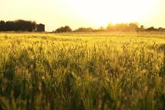 Un campo d'avena (Renatvs88) Tags: sunset sun primavera relax scenery italia tramonto estate sony sole oats tamron rosso calabria paesaggio bellissimo avena scalea alpha55 luccica