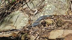 Pseudechis porphyriacus_1 (Tony Markham) Tags: reptile snake pseudechisporphyriacus redbelliedblacksnake tahmoor wingecarribee bargoriver tahmoorcanyon
