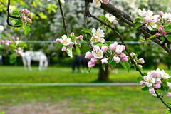 My neighbor has an orchard. (balu51) Tags: morning pink white green switzerland morninglight wiese rosa orchard april 60mm grn pferde weiss frhling blten appletrees 2014 appleblossoms obstgarten apfelbume pferdekoppel copyrightbybalu51