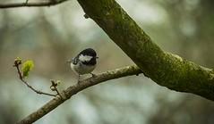 _IMG4230 (jon@alm) Tags: nature nikon sigma nationalgeographic d800 britishbirds wildlifeengland