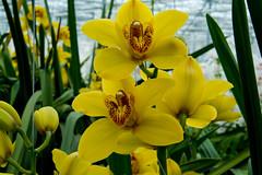 _DSC2627 (durr-architect) Tags: flowers orchids greenhouses almere komindekas