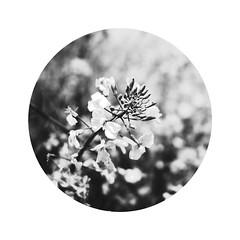 rape flower () Tags: gf1 rapeflower
