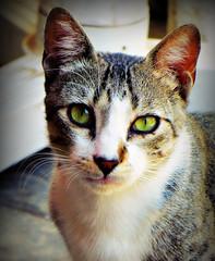 Sybil, my restaurant cat (ronramstew) Tags: cat restaurant agadir morocco feral ibtissam talborjt talbourjt