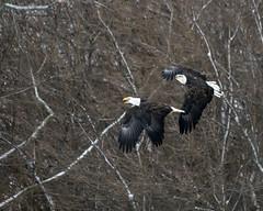Chasing Adults (AmyBaker0902) Tags: river mississippi eagle lock dam 14 bald iowa