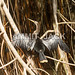 Anhinga snakebird