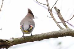 HNS_2824 Pestvogel (Bombycilla garrulus)