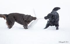 Tension! (Blazingstar) Tags: black dogs flip tug retrievers odo liver