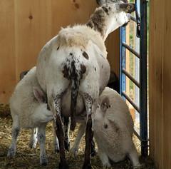 Yearling's twins (baalands) Tags: hair twins sheep lambs nursing katahdin udder ewe yearling