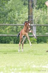 poulain et l hirondelle (christiangauduin) Tags: cheval saut poulain ecurie